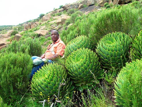 Bongani with a cluster of Spiral Aloes