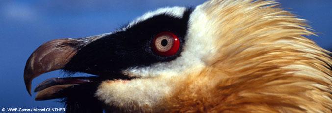 Adult Lammergeyer head detail