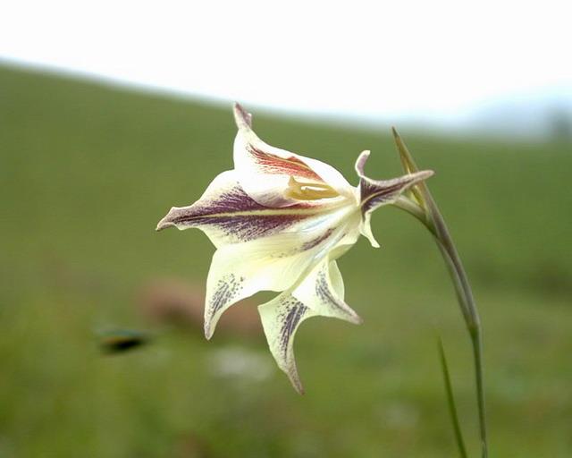 Gladiolus longicollis