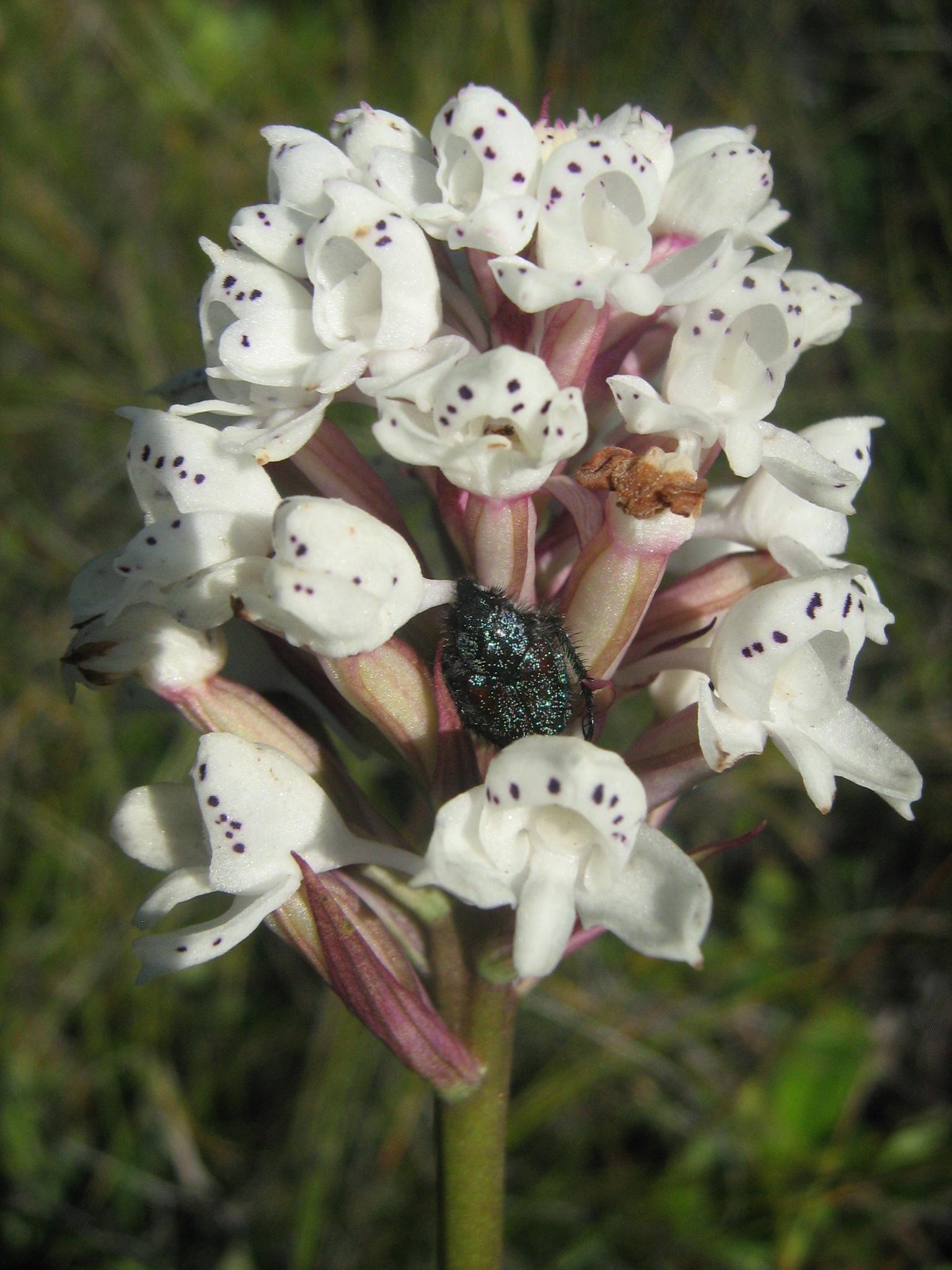 Disa cephalotes subsp. cephalotes photo by Bokang Ntloko