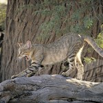 African Wildcat (Felis libyca). Kalahari-Gemsbok National Park. South Africa