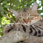 Felis silvestris libyca in a tree
