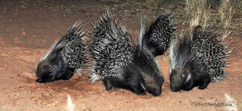 A group of African Crested Porcupine