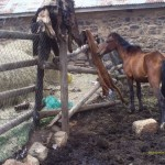 Highveld Horse Care Unit lame horse in Lesotho compound