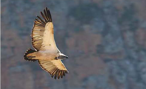 cape_vulture