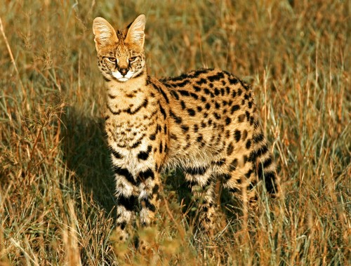 serval-Vearl-Brown